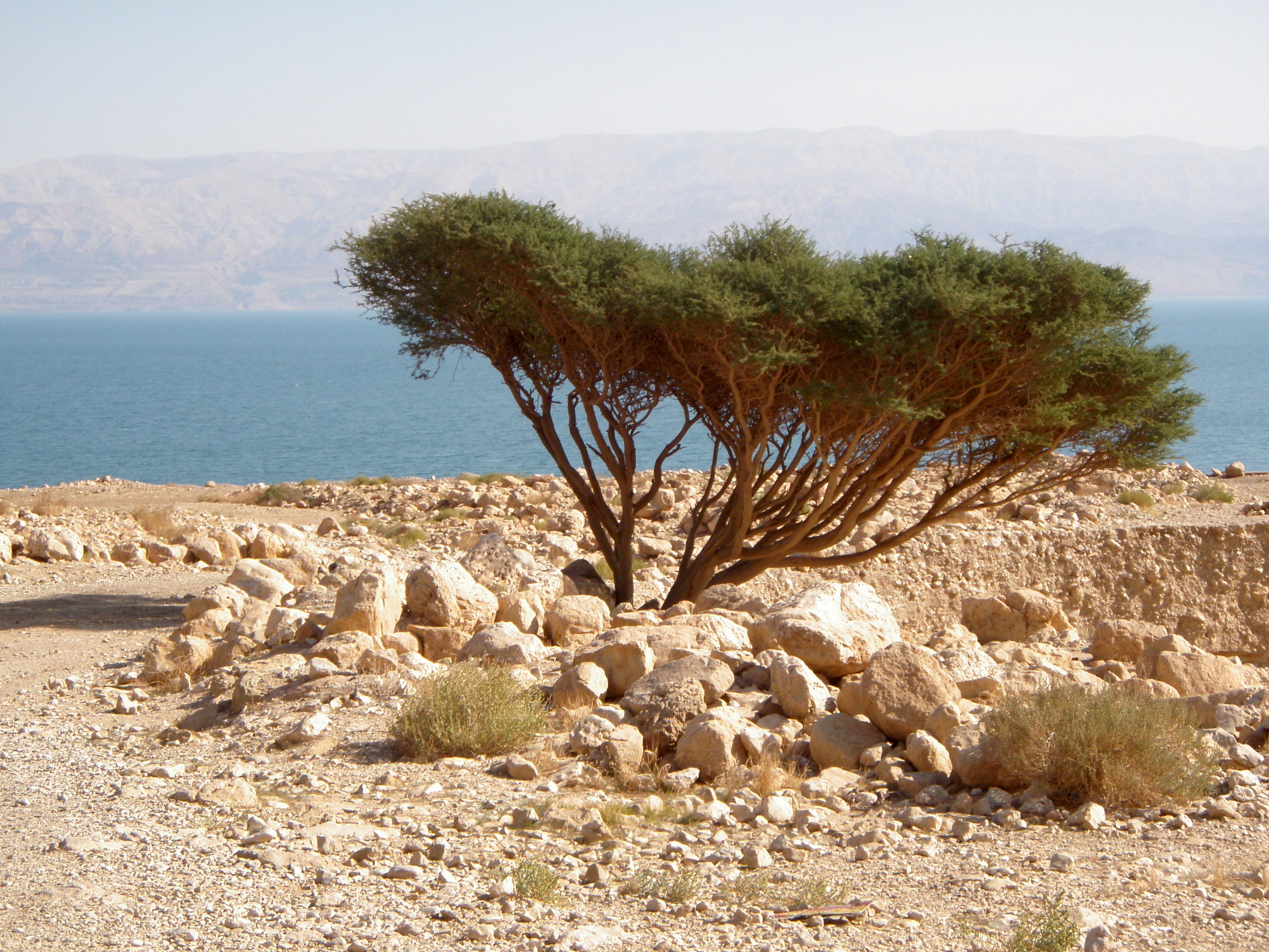 Dead Sea Acacia shade tree, natural germination.