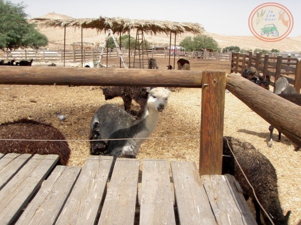 Alpaca ranch Mitzpe Ramon jeep tours.