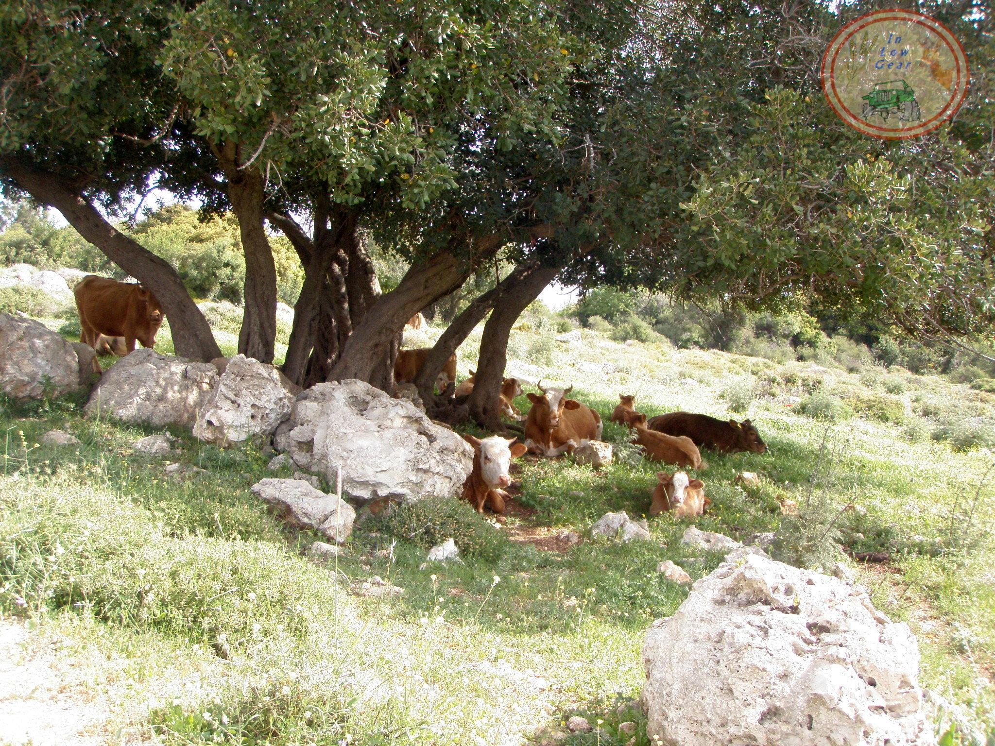 N. Carmel open grazing. מרעה טבעי על הכרמל