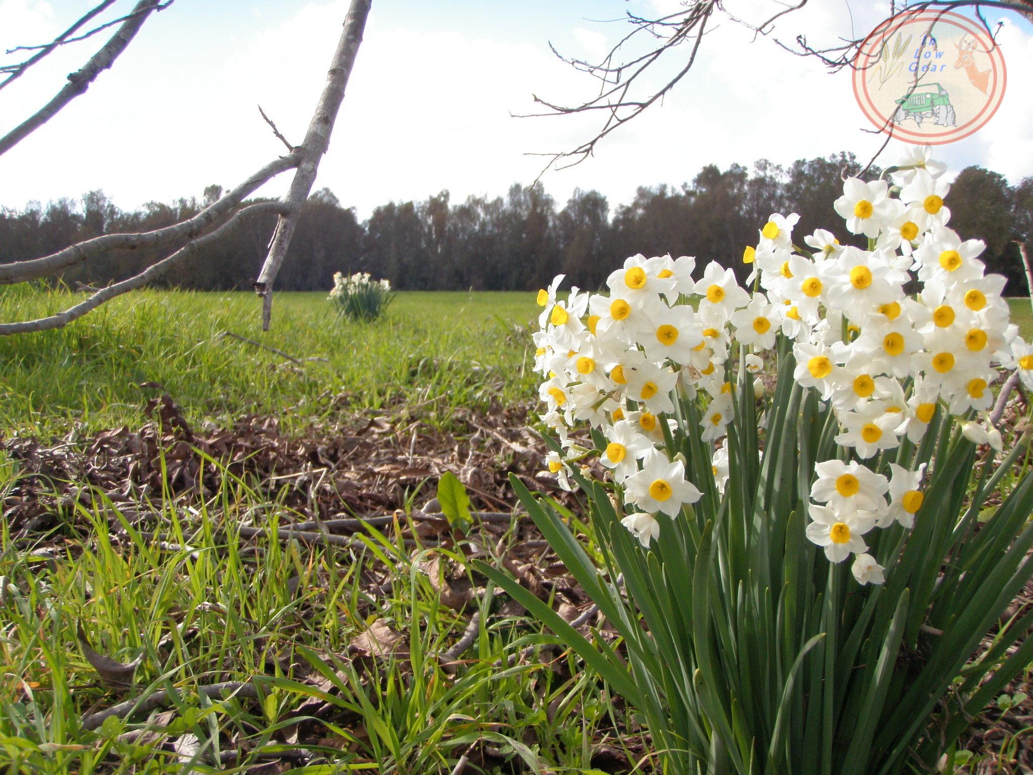 Common Narcissus Ness Ziona Jeep Tours. נרקיס מצוי בטיול ג'יפים סובב נס ציונה