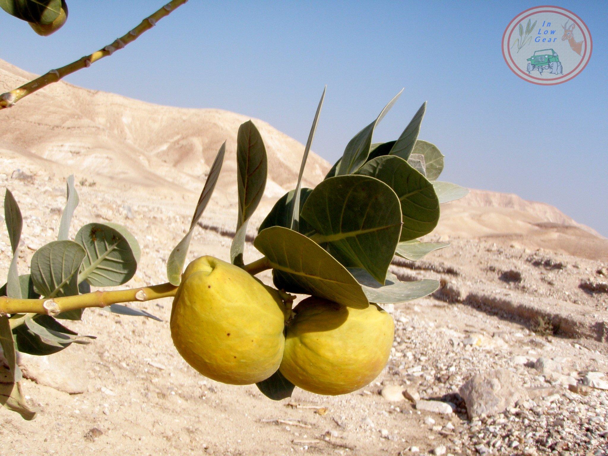 Tapuah Sdom Nahal Kidron תפוח סדום בנחל קדרון