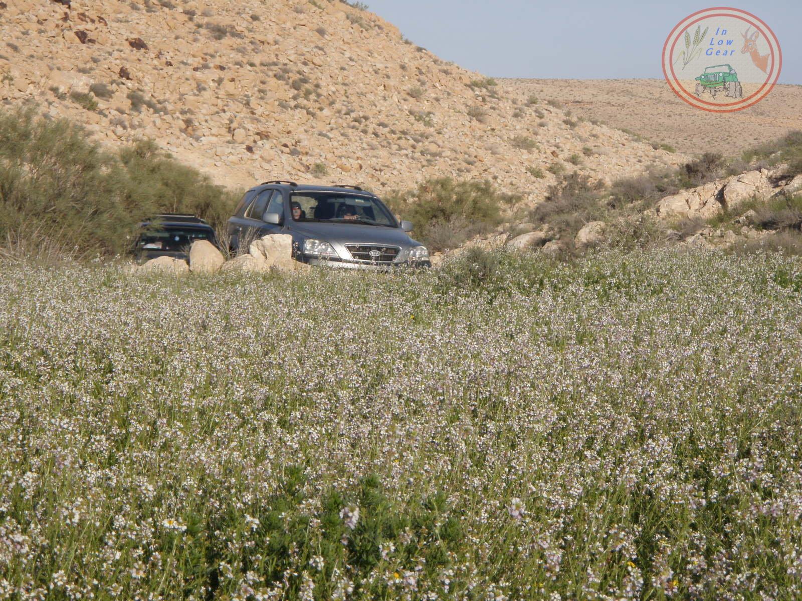 Har Hanegev flower bed jeep tours. שדה פרחים בהר הנגב טיולי ג'יפים