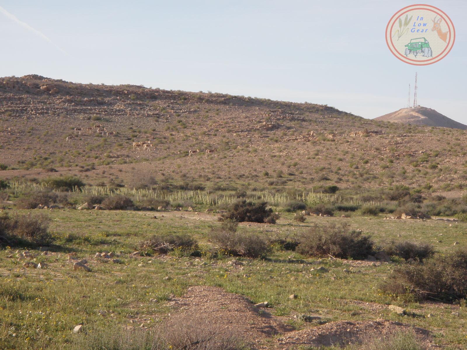 Arod wild ass at Kadesh Barnea jeep tours. עדר ערודים באזור קדש ברנע, טיולי ג'יפים